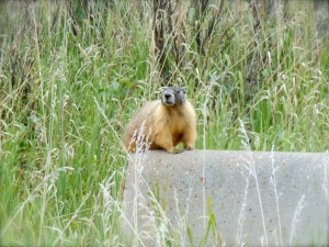 Stalking Marmots. Yes, it happened.