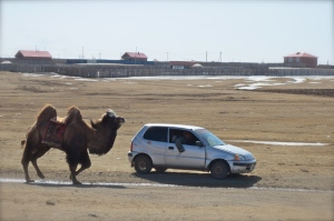 Camel Herding at it's Finest